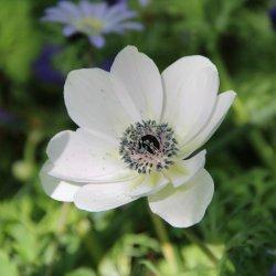 Anemone coronaria 'Bride'
