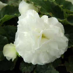 Begonia Non Stop wit