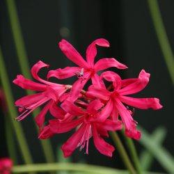 Nerine companion 'Mr. John'