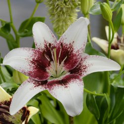 Lilium 'Tribal Kiss'