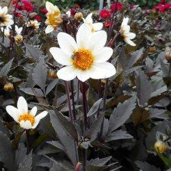 Dahlia 'Dahlegria White'