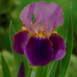 Iris (G) 'Lent A. Williamson'