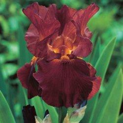 Iris (G) 'Sultan's Pallace'