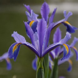 Iris hollandica 'Discovery'®