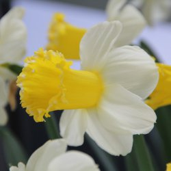 Narcissus 'Sugar Dipped'