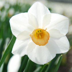 Narcissus 'Sophie Girl'