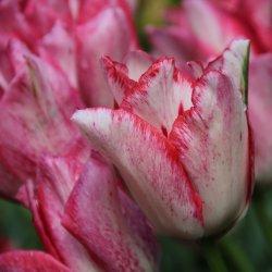 Tulipa 'Beautytrend' ®
