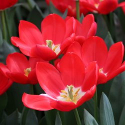 Tulipa 'Cherry Delight'