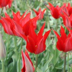 Tulipa 'Liz de Velours'