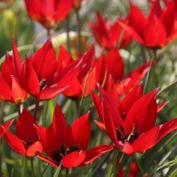 Tulipa 'Lizzy'