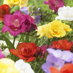 Freesia dubbelbloemig mix