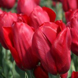 Tulipa 'Strong Love'
