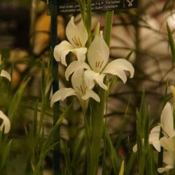 Gladiolus colvillei 'Albus'