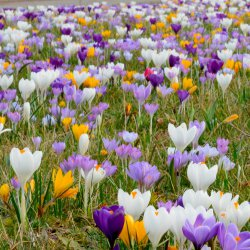 Crocus 'Swanbury Mix' ®