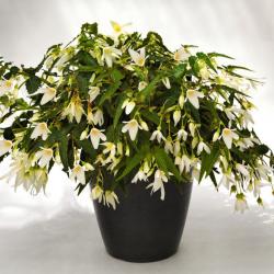 Begonia Bertinii...