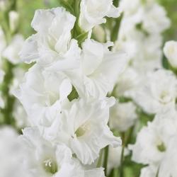 Gladiolus 'Essential'