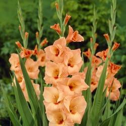 Gladiolus 'Peter Pears'