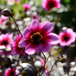 Dahlia 'Wishes N Dreams'