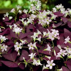 Oxalis triangularis 'Myke'