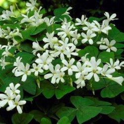 Oxalis triangularis ssp....