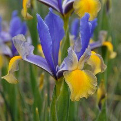 Iris hollandica 'Miss Saigon'®