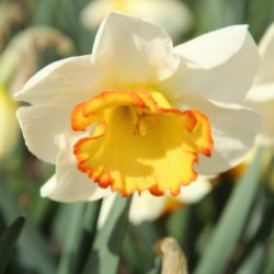 Narcissus 'Hawaiian Skies'