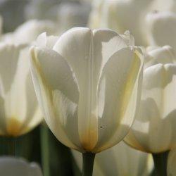 Tulipa 'Angels Wish'