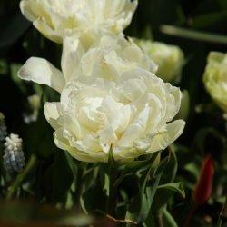 Tulipa 'Grobina'