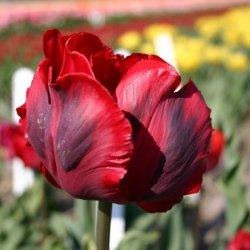 Tulipa 'Shining Parrot'