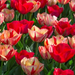 Tulipa -Spryng Break Mix- ®