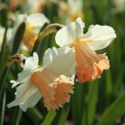 Narcissus 'Pink Parasol'
