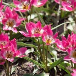 Tulipa 'Garden of Clusius'