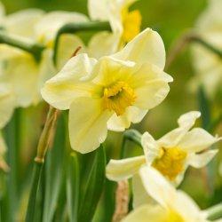 Narcissus 'Mint Julep'