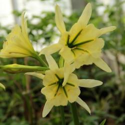 Hymenocallis 'Sulphur Queen'
