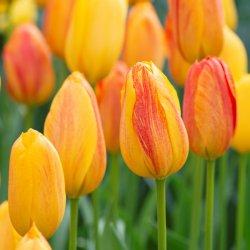 Tulipa 'Rhapsody of Smile'