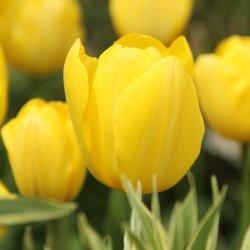 Tulipa 'Yellow Angel'