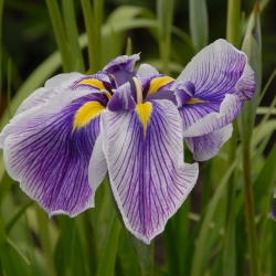 Iris ensata 'Angel Mountain'