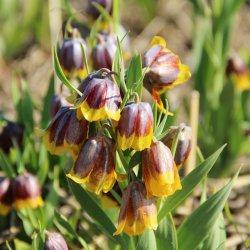 Fritillaria michailovskyi