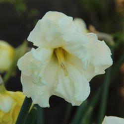 Narcissus 'Colblanc'