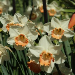 Narcissus 'Pink Charm'