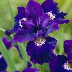 Iris sibirica 'Shirley's Pope'