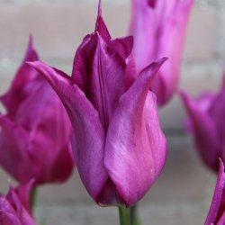 Tulipa 'Purple Dream'®