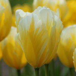 Tulipa 'Sweetheart'
