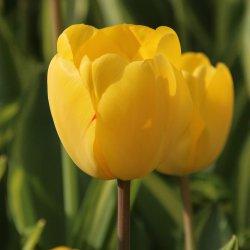 Tulipa 'Yellow Wave'