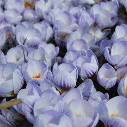 Crocus chrysanthus 'Blue...
