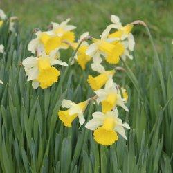 Narcissus pseudo. subsp....