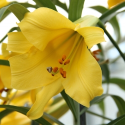 Lilium 'Golden Splendor'