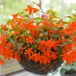 Begonia bertinii