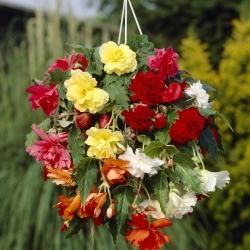 Begonia cascade -mix-