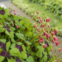 Oxalis deppei 'Iron Cross'